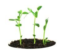 Pea-Plant1